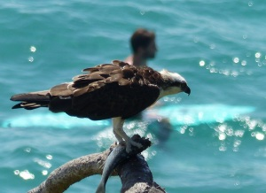 On the cliffs above Cabarita Beach a Brahminy Kite feeds on a fish it caught.