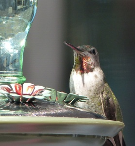 Hummingbird at a feeding station on a floating house at Maple Bay.