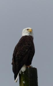 A Bald Eagle sits atop a marina pole surveying its territory.