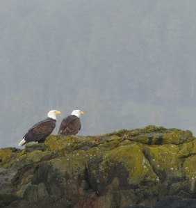 A pair of Bald Eagles on harbour rocks.