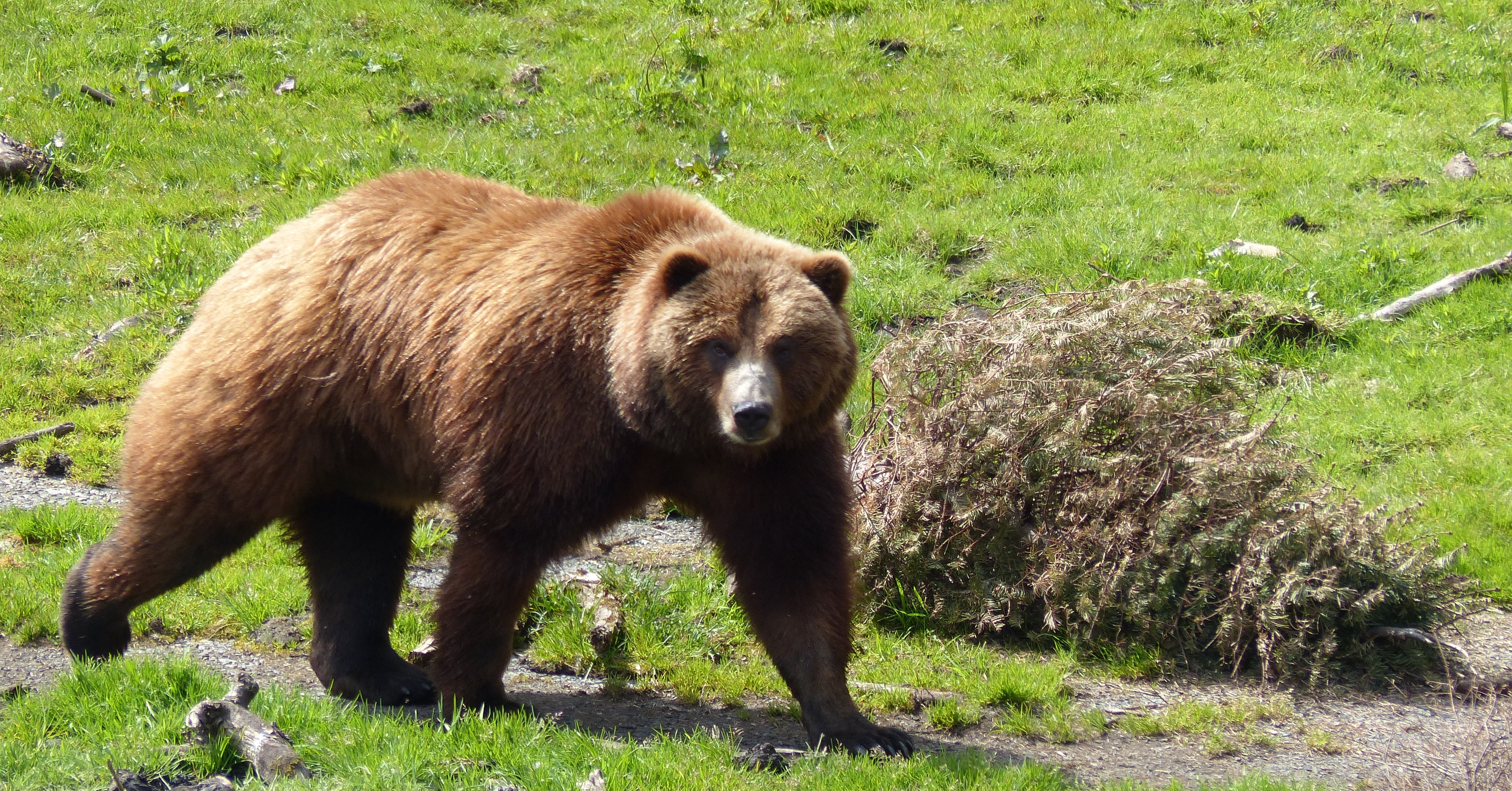 """Brown Bear   Frank & Donnis Travel Blog """"the more we see"""