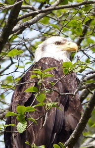 Bald Eagle in tree above Fortress of the Bear.