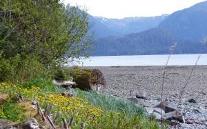 Yellow Dandelion at Jamestown Bay.