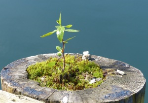 Plants have started to grow on the top of the pylons at the marina.