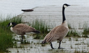 This pair of Canada Geese were on a boat ramp beside the Harbour Air Seaplane terminal at South Vancouver.