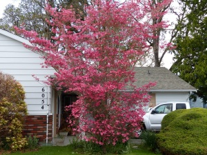 Dogwood tree in colourful regalia at Joan's House.
