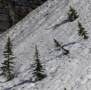 Recent avalanche. Note the pine trees pushed over on an angle.