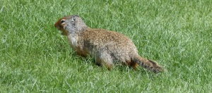 I think this could be a Groundhog. Then again it could be a Ground Squirrel or a Marmot or even a Gopher. Can anyone positively identify it for me?