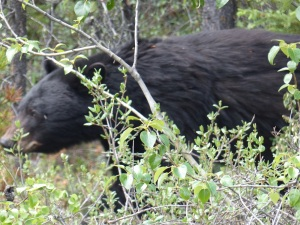 We spied this black bear on the road. By the time we stopped and got the camera ready it had moved passed the car and was wandering along the grassy edge.