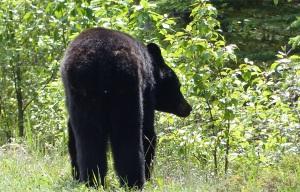 070615 bear1