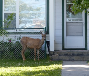 A flower eating deer looking for dinner in the front yard of a local house.