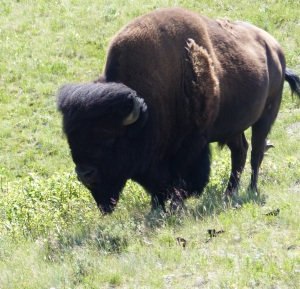 Our first sight of a Bison. Ugly isn't he?