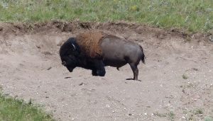 This Bison rolled in a snad oit to scratch his back and presumably to remove the winter fur coat.