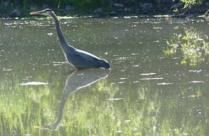 This visitor Blue Heron (much larger than those we are used to seeing in OZ) was sharing the same pond as the  ducks.