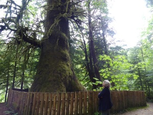 Giant Sitka Spruce Tree found on the Lake Cowichan to Port Renfrew road.