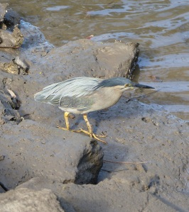 While watching Steve n Errol arrive in Steve's boat I noticed this Striated  Heron searching for food in the mud flats below our village at low tide.