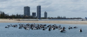 Pelicans swimming the in the - Swimming - Lagoon - of course. Waiting for lunch.
