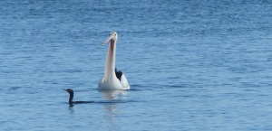 Pelican with one Shag