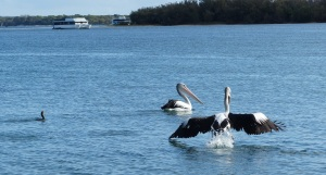 Pelican being chased by Shags