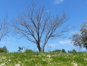 Another dead Casuarina.