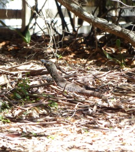 The goanna blends in amongst the forest floor debris.