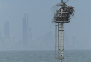 Large Sea Eagles have built a nest in this Navigation beacon at the mouth of Currumbin Creek. Surfers paradise is in the background.
