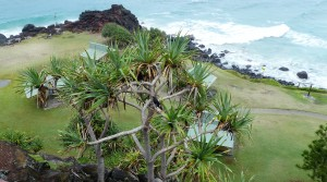 The black bird sitting in the pandanus tree growing from a crevice in the cliffs is the Pied Currawong. Note the distinctive yellow eyes.