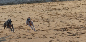 A couple of Whippets on the loose on Bellambi Beach.